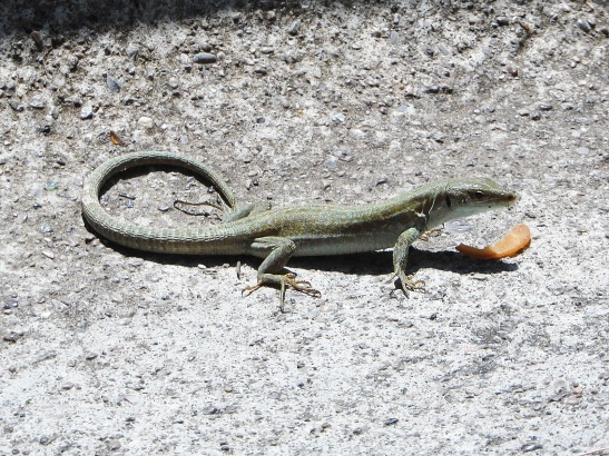 Found this little lizard in Positano