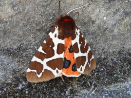 Great Tiger Moth, Arctia caja